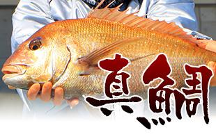 加太の真鯛